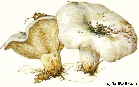 грибы белгородской области описание и фото